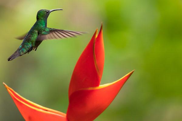 Grünbrust-Mangokolibri (Anthracothorax prevostii) - Männchen
