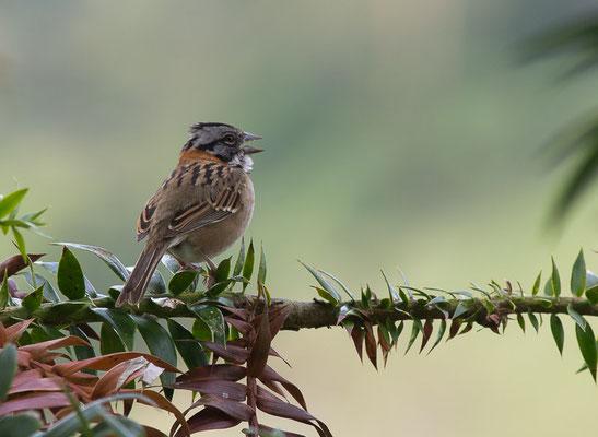 Morgenammer (Zonotrichia capensis)