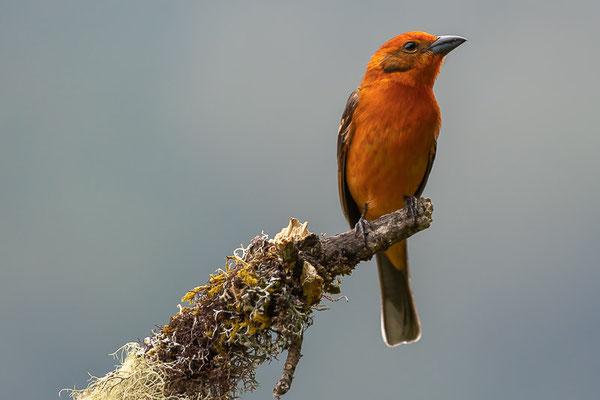 Blutkardinal (Piranga bidentata) - Männchen