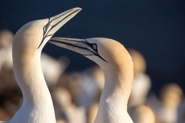 Basstölpel (Morus bassanus) auf Helgoland
