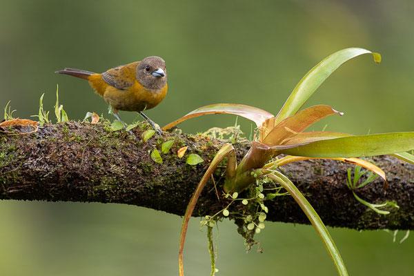 Passerinitangare (Ramphocelus passerinii) - Weibchen