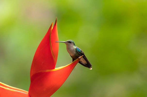 Violettkronennymphe (Thalurania colombica)   - Weibchen