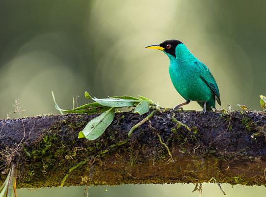 Kappennaschvogel (Chlorophanes spiza), Männchen