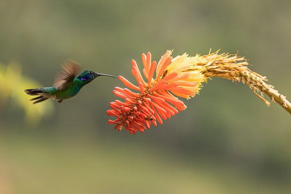 Kleiner Veilchenohrkolibri (Colibri thalassinus)