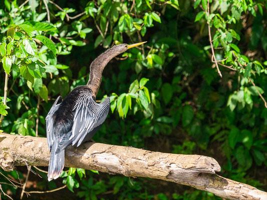 Amerikanischer Schlangenhalsvogel (Anhinga anhinga)