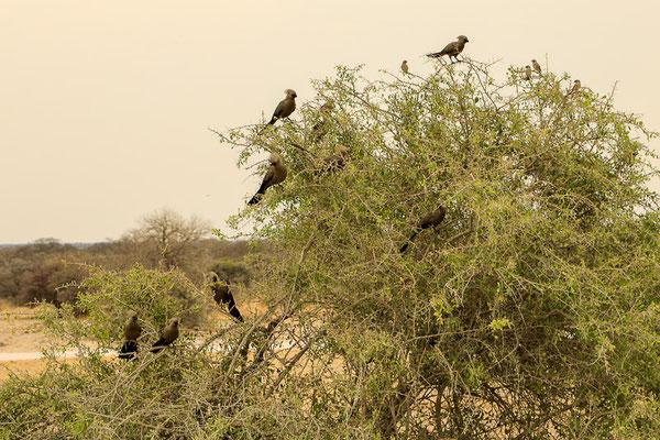 Graulärmvogel (Corythaixoides concolor)