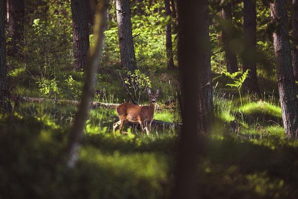 Begegnungen im Wald an den Elbleiten. ISO 400, 200mm, f/4.0, 1/125sek.