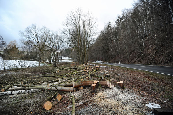 ... nun heißt es alle Kräfte mobilisieren. Denn ein Erlenwald hat sich in den Jahren seit Streckenstilllegung auf dem Bahndamm breit gemacht. Und gefällt werden darf nur bis Ende Februar. 11.02.19