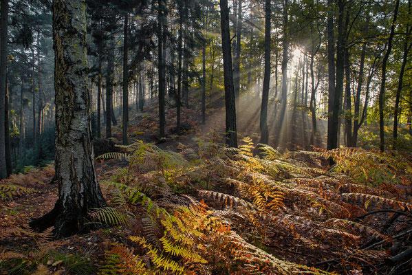 Die letzten Nebelschwaden liegen an diesem Morgen in der Luft als ich in einem Wald bei Papstdorf unterwegs bin. Wunderschön brechen sich die Sonnenstrahlen im Dunst. ISO 200, 24mm, f/8.0, 1/30sek. (Polfilter).