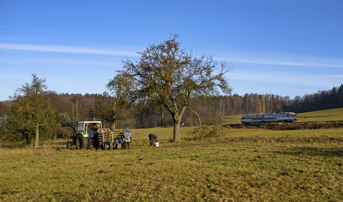 Doch schon wenige Minuten später als der Desiro von Neustadt nach Sebnitz auftaucht sind die Äpfel durch die fleißigen Bauern von den Bäumen geschüttelt. Krumhermsdorf, Ende November 2016.