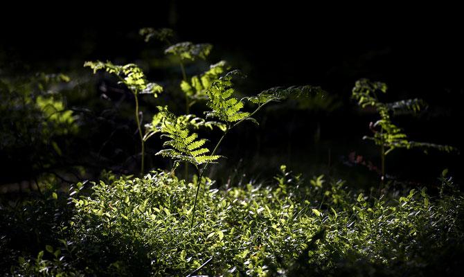 Farn im Licht der aufgehenden Sonne. ISO 200, 200mm, f/4.0, 1/200sek.