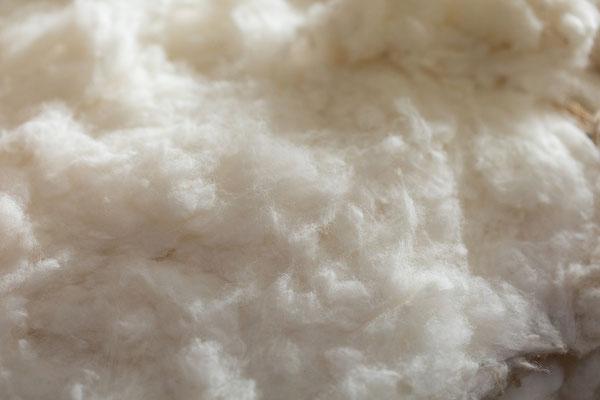 メキシコ綿