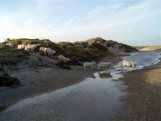Texel sheep in De Slufter © Marlon Paul Bruin 2009