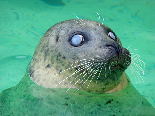 Blind seal at Ecomare © Marlon Paul Bruin 2007