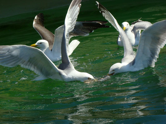 Seagulls fighting for some fish at Ecomare © Marlon Paul Bruin 2009