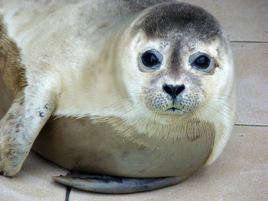Baby seal at Ecomare © Marlon Paul Bruin 2007
