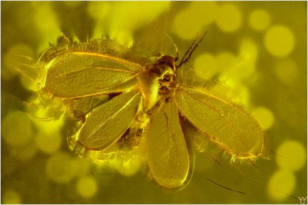 355. Aleurodina, Mottenlaus, Baltic Amber