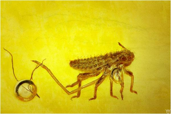 787, Aphidoidea, Blattlaus, Baltic Amber