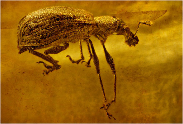 108. Curculionidae, Rüsselkäfer, Baltic Amber