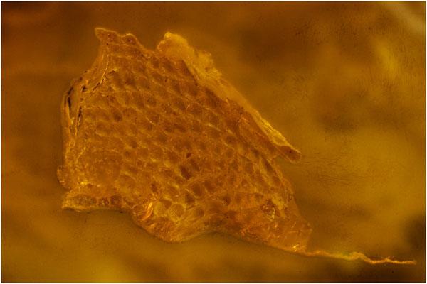 414. Reptile Skin, Reptilienhaut, Baltic Amber