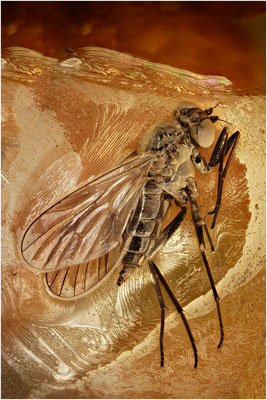 127. Rhagionidae, Schnepfenfliege, Baltic Amber