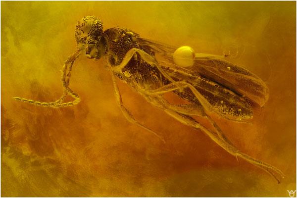 736, Scelionidae, Wespe, Baltic Amber