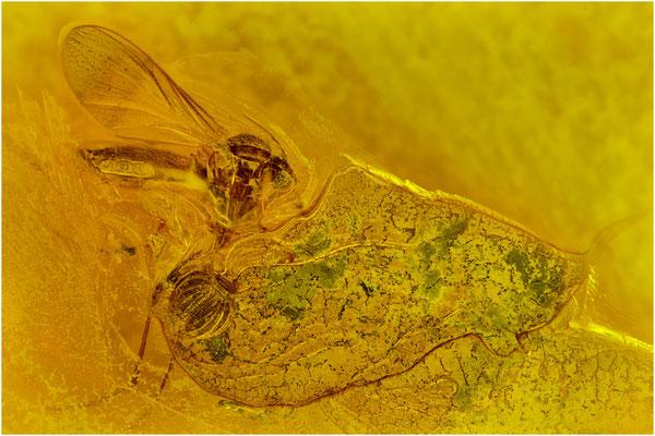 72b. Psocopptera, Staublaus, Sphaeropsocus kuenowii,  Nematocera, Mücke, Baltic Amber