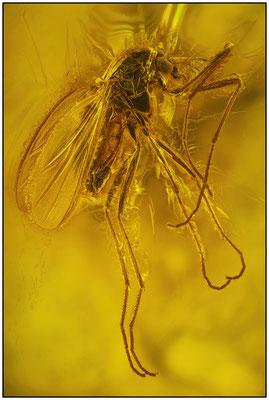 1429, Chironomidae, Zuckmücke - Weibchen, Baltic Amber