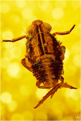 384c. Cicadina (Zikade), Baltic Amber