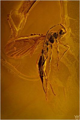 374, Diapriidae, Wespe, Baltic Amber
