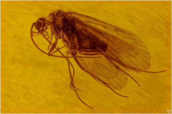 393. Trichoptera, Köcherfliege, Baltic Amber