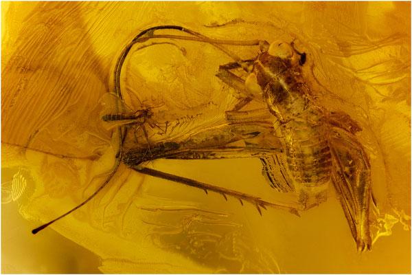 84. Orthoptera, Heuschrecke, Nematocera, Mücke, Baltic Amber