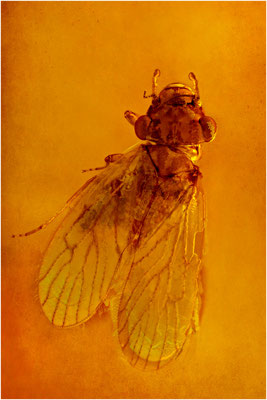 74. Psocoptera, Staublaus, Baltic Amber