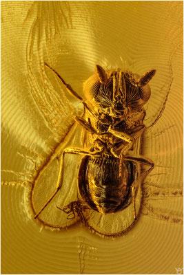1538, Scelionidae, Wespe, Baltic Amber