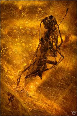 404. Dryinidae, Zikadenwespe, Dominican Amber