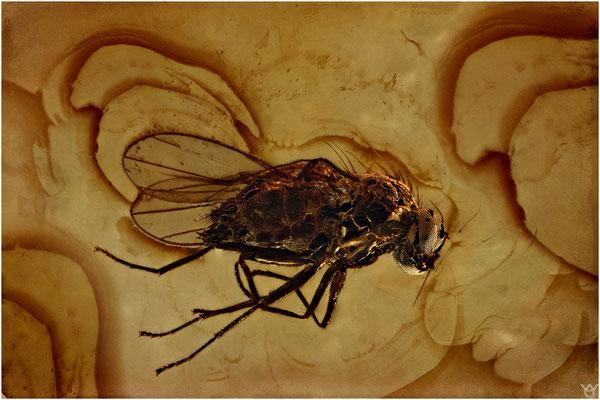 395. Brachycera, Fliege, Baltic Amber