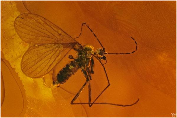 715, Psychodidae, SchmetterlingsmückeBaltic Amber