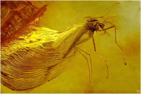 1415, Chironomidae, Zuckmücke, Baltic Amber