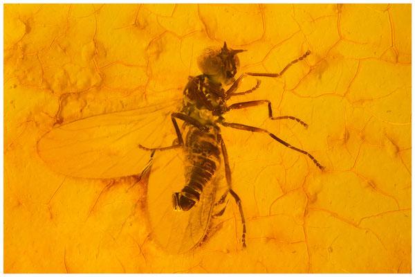 96. Brachycera, Fliege, Baltic Amber