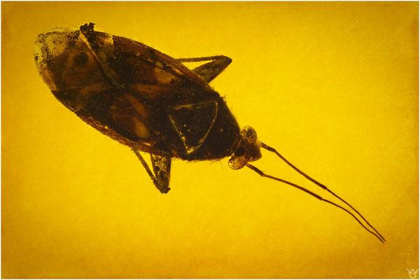 365. Miridae, Weichwanze, Baltic Amber