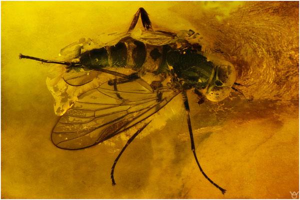 1524, Rhagionidae, Schnepfenfliege, Baltic Amber