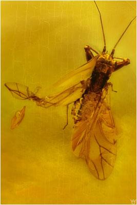 705, Aphidoidea, Blattlaus, Baltic Amber
