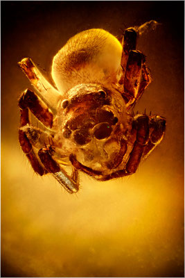 94. Salticidae, Springspinne, Baltic Amber