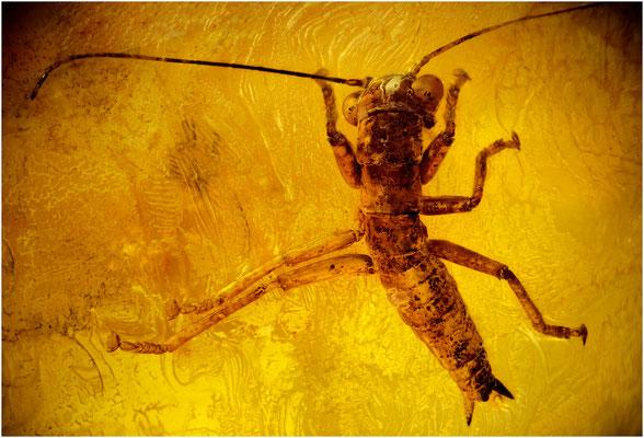 83. Mantophasmatodea, Gladiatorenschrecke, Baltic Amber