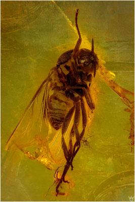 1442, Brachycera, Fliege, Baltic Amber