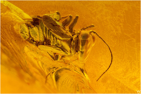 742, Psocoptera, Staublaus, Baltic Amber