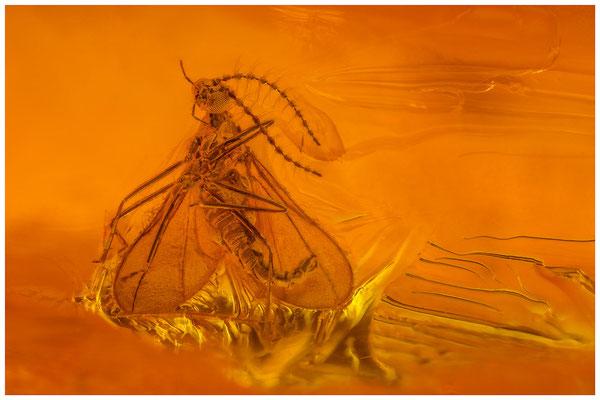 139. Cecidomyiidae, Gallmücke, Baltic Amber