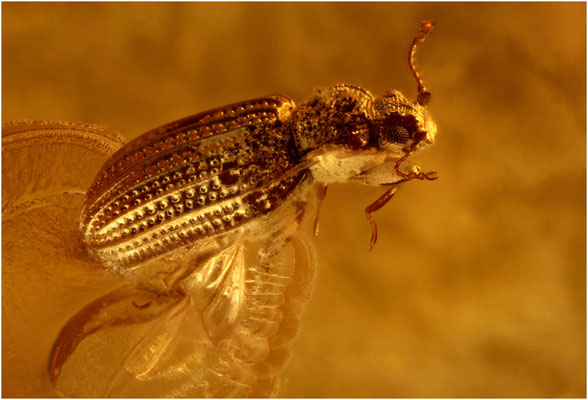73. Lathridiidae, Moderkäfer, Baltic Amber