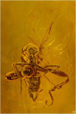 738, Ceratopogonidae, Gnitze, Baltic Amber