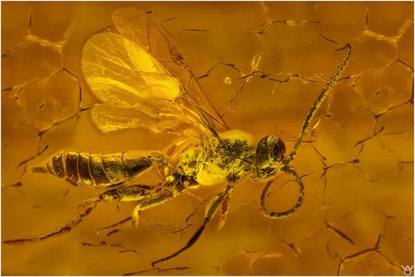 719, Ichneumonidae, Wespe, Baltic Amber